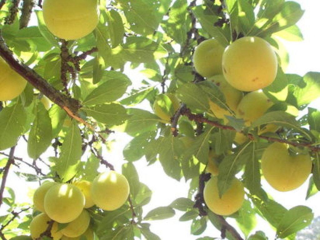 Leyenda el naranjo del chocotete jipijapa en linea for Plantas frutales